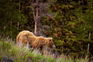 IMG_2529 copie_grizzli-Yukon