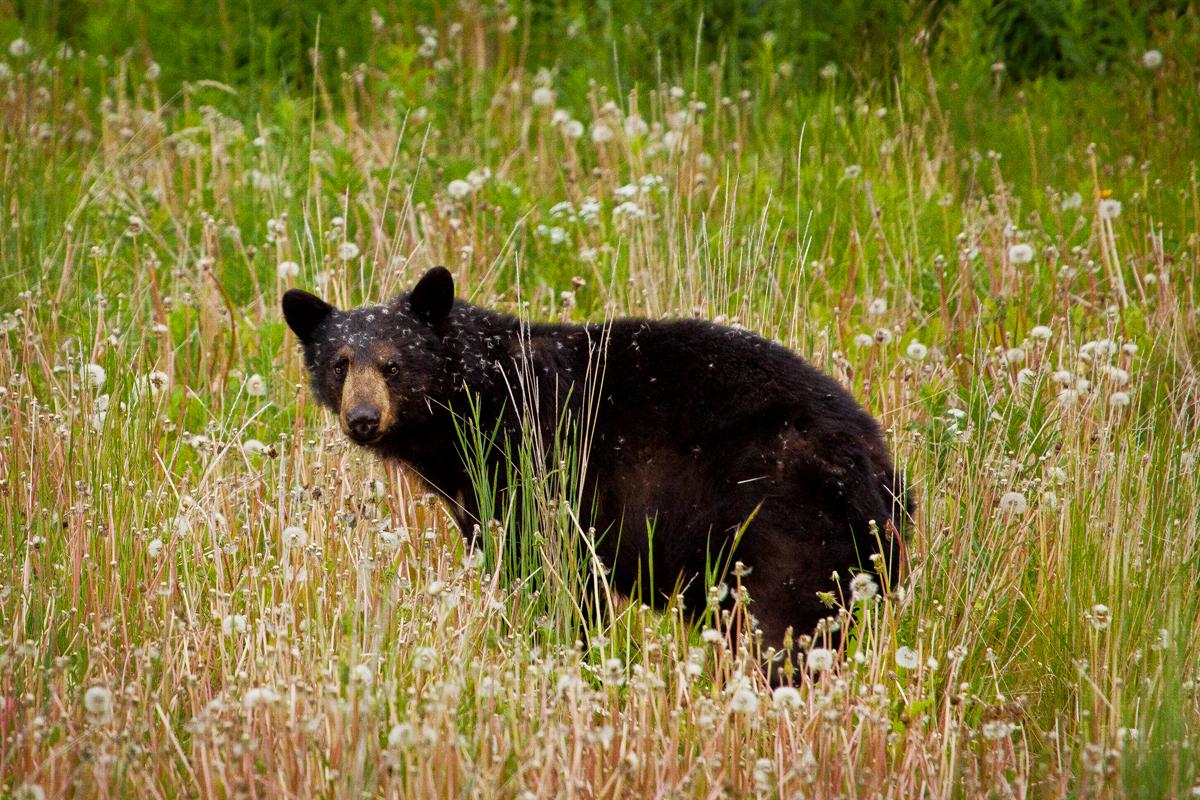 voir des ours noirs et des grizzlis au canada. Black Bedroom Furniture Sets. Home Design Ideas