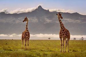 J5_girafes_mont_kenya