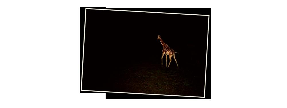 kenya3_05_girafe_nuit