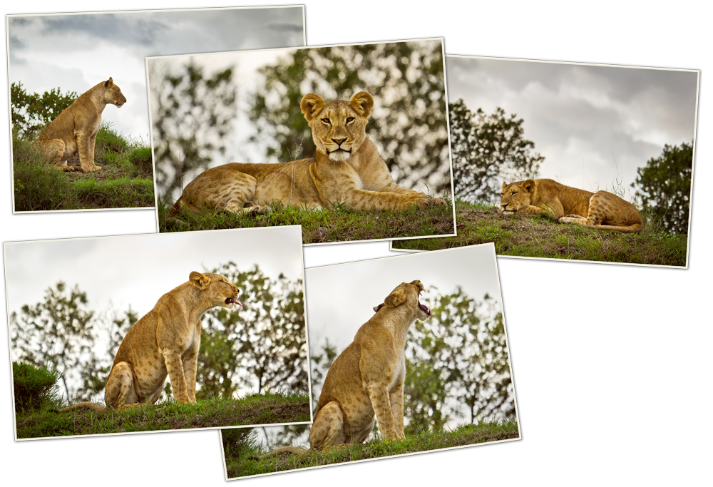 kenya3_10_lionnes
