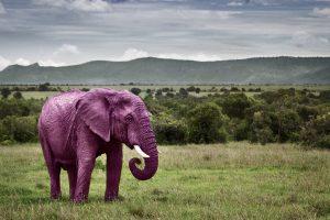 elephantrose