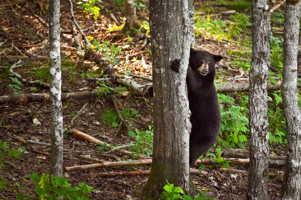 Ours au Nouveau Brunswick