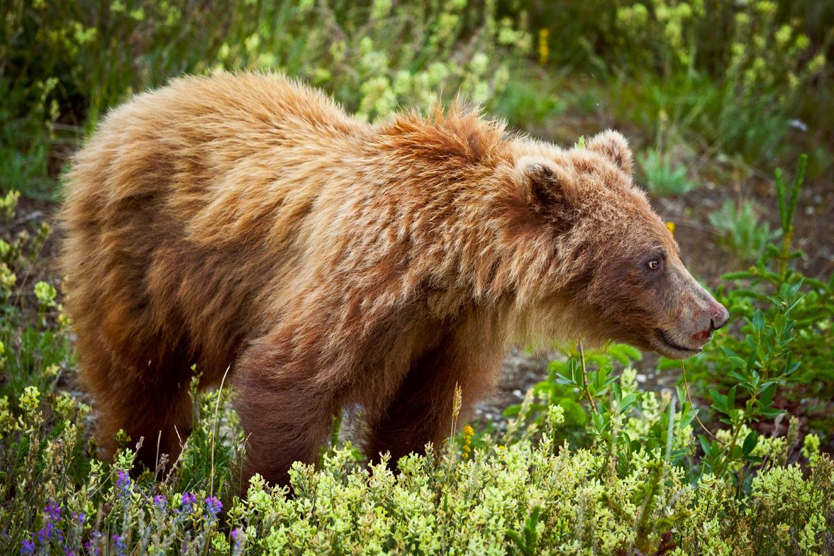 voir des ours noirs et des grizzlis au canada madame oreille blog voyage et conseils photos. Black Bedroom Furniture Sets. Home Design Ideas