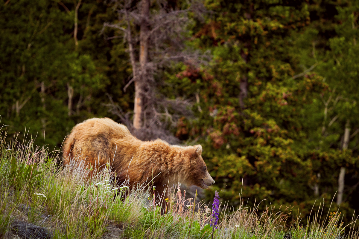 Ours au Yukon