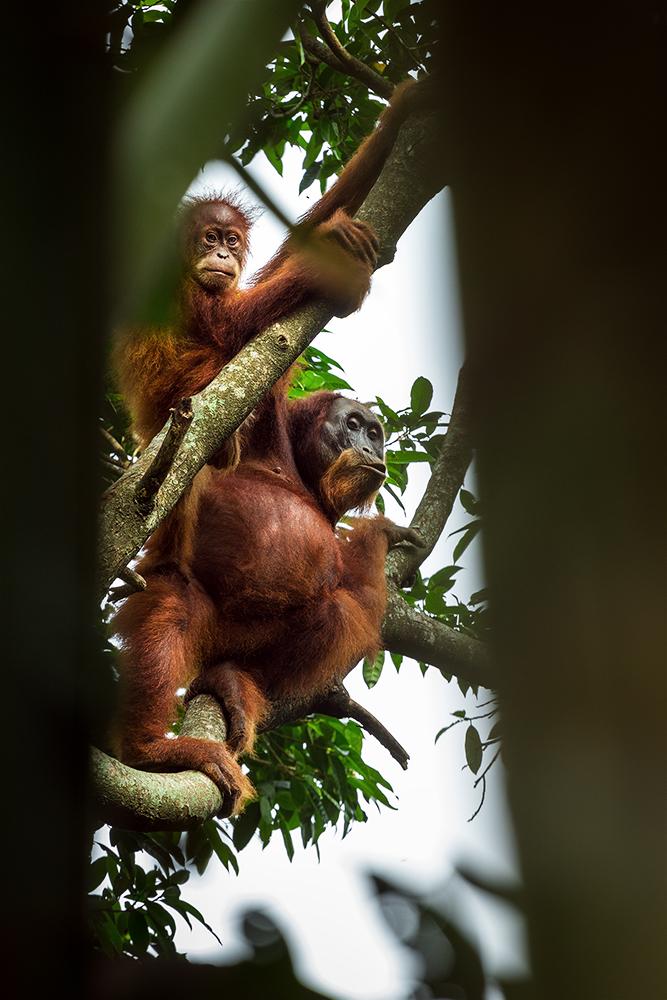 orangs-outans à sumatra