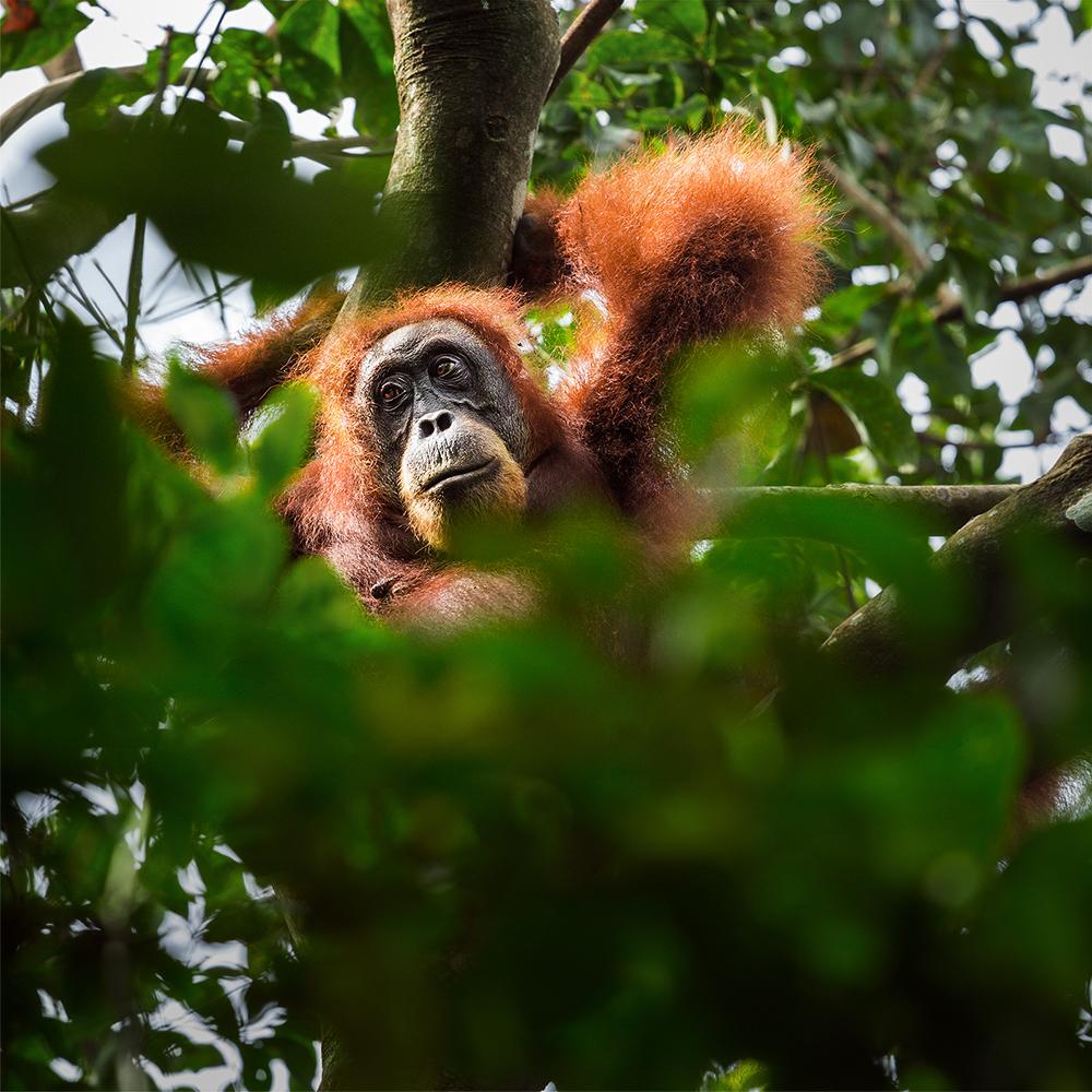 orangs-outans à Bukit Lawang