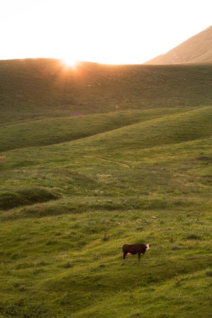 Vache dans les alpages, Grand-Bornand