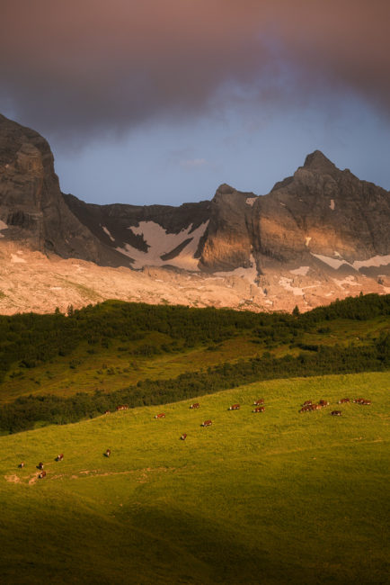 Troupeau de vaches en alpage au col des Annes