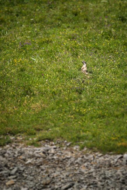 Marmotte aperçue pendant la rando Grand-Bornand