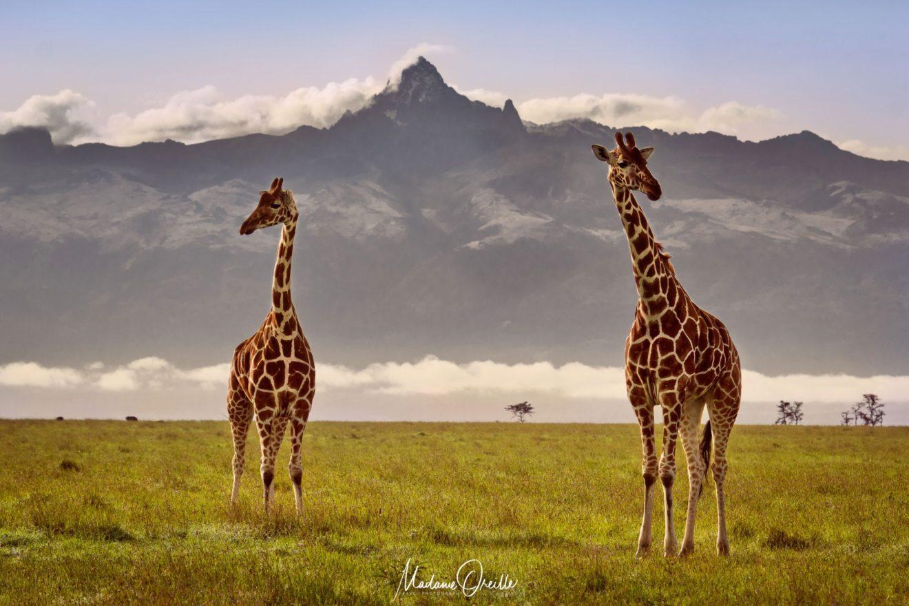 Deux girafes devant le mont Kenya
