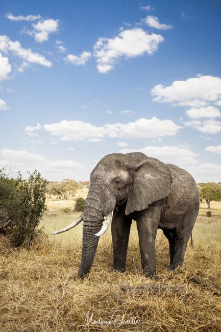 Safari, quel objectif : éléphant au grand angle