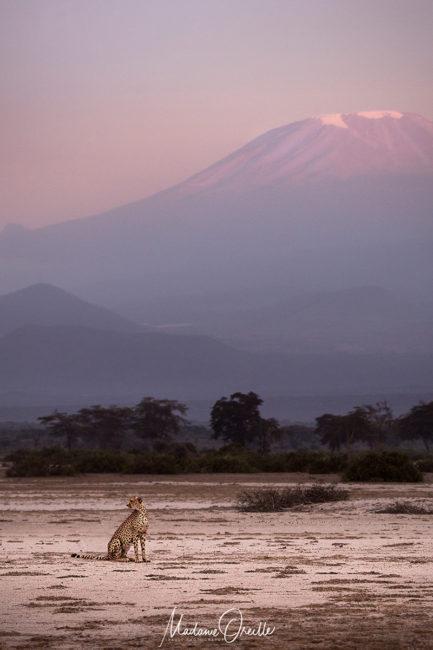 guépard en Tanzanie, devant le Kilimanjaro