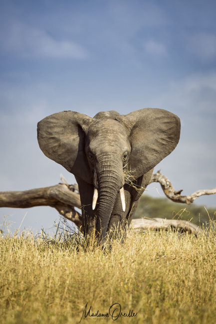 Safari, quel objectif : éléphant au télé-objectif