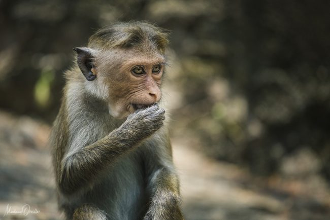 singe, dambulla, macaque
