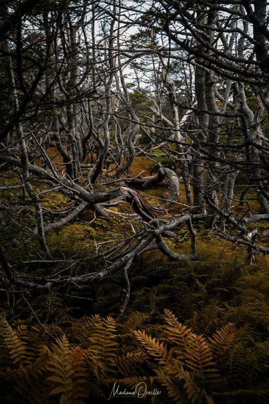 forêt boréale au cap miquelon