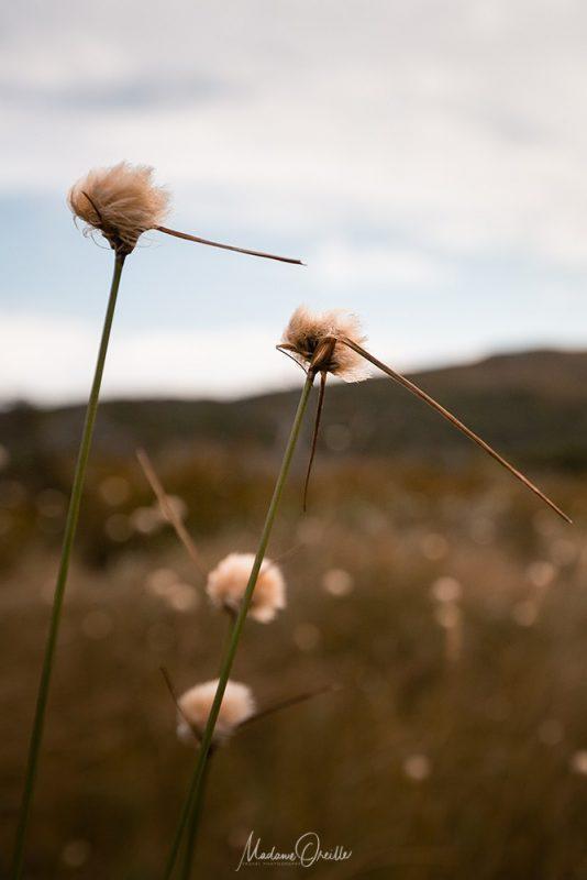 les linaigrettes, flore de saint pierre et miquelon