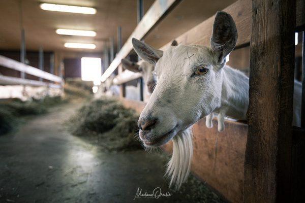 le seul élevage de chèvres de Miquelon