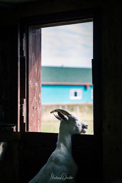 Chèvre à Miquelon