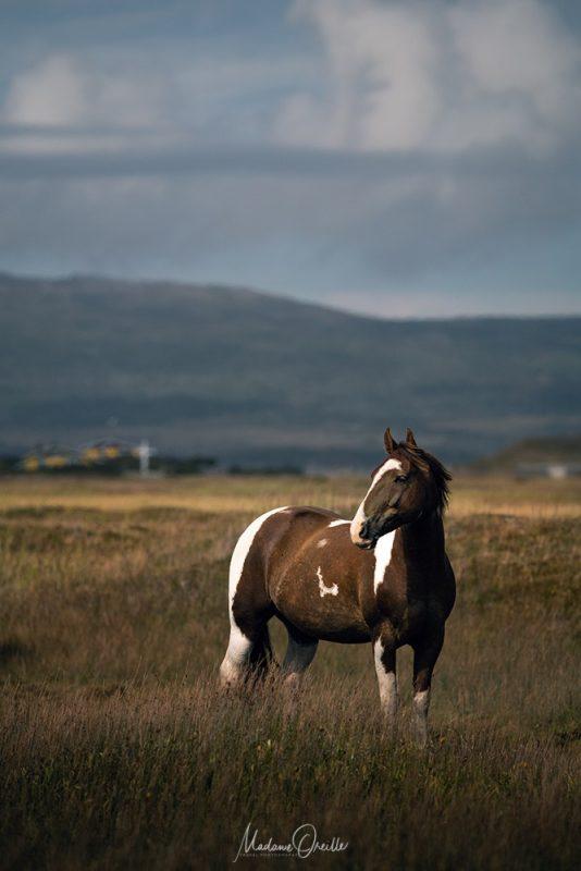 chevaux en liberté à miquelon et langlade