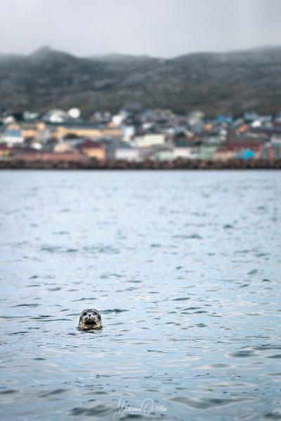 Les phoques jouent dans le port de Saint-Pierre