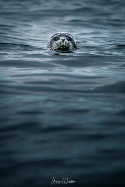 phoque gris curieux