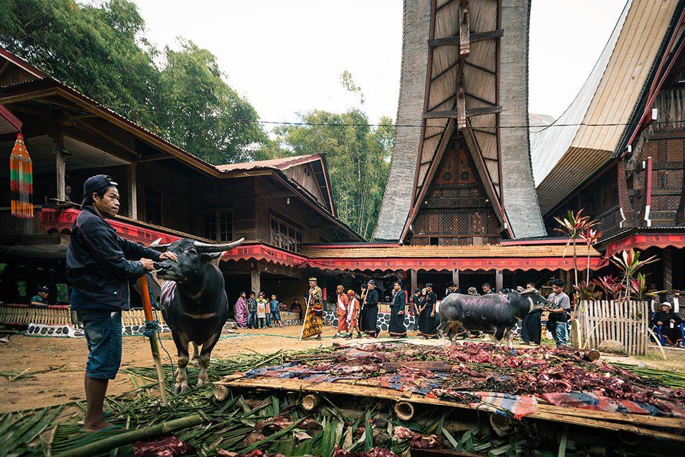 buffles pendant une cérémonie funéraire toraja