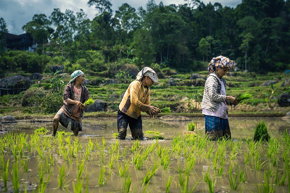 femmes travaillant dans les rizières, sulawesi