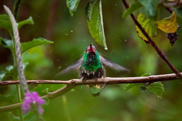 colibri au costa rica