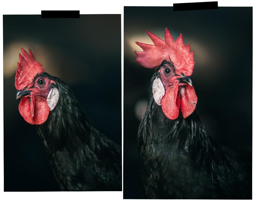 poules de barbezieux